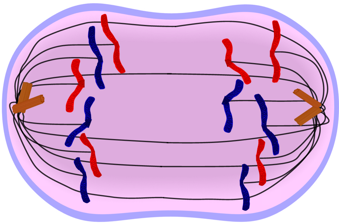 Anaphase clipart png royalty free download Cell Division- Mitosis: anaphase, biology, cell, chromatids ... png royalty free download