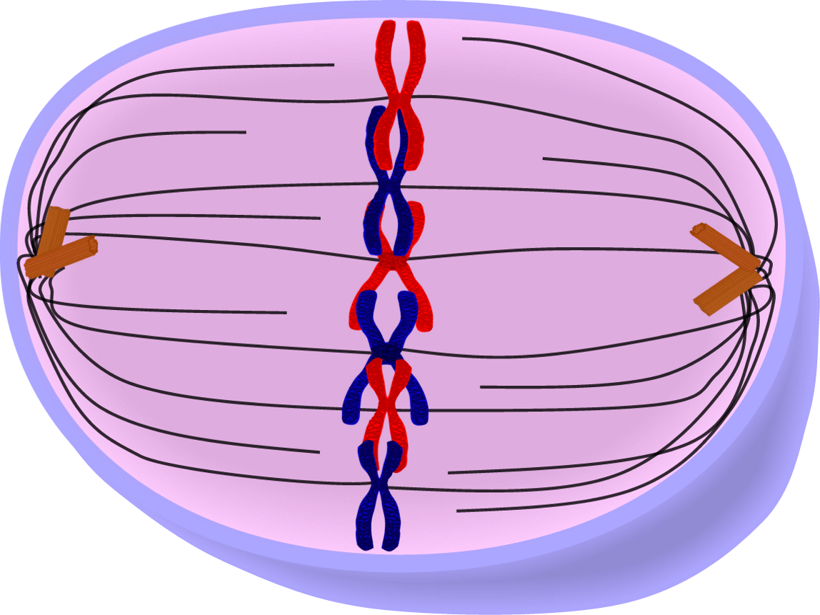 Anaphase clipart graphic royalty free download Anaphase clipart 4 » Clipart Portal graphic royalty free download