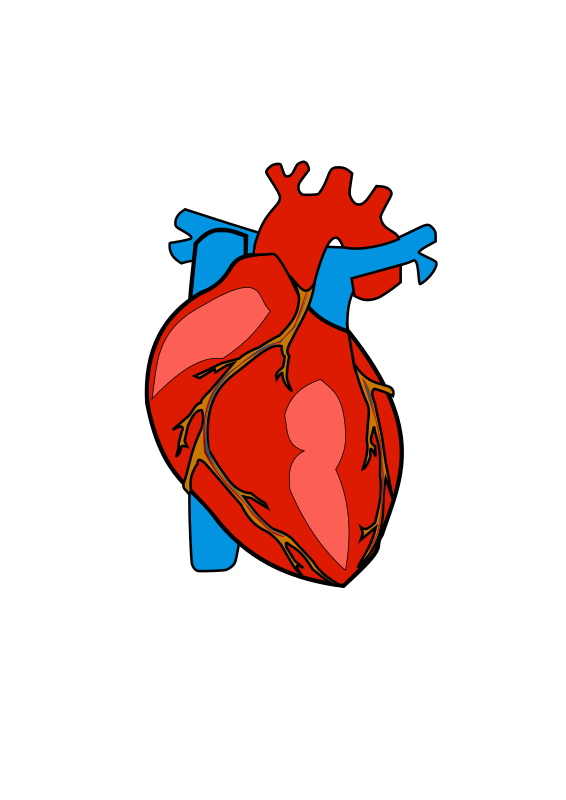 Anatomical heart clipart clip art free stock Clipart - HUMAN HEART clip art free stock
