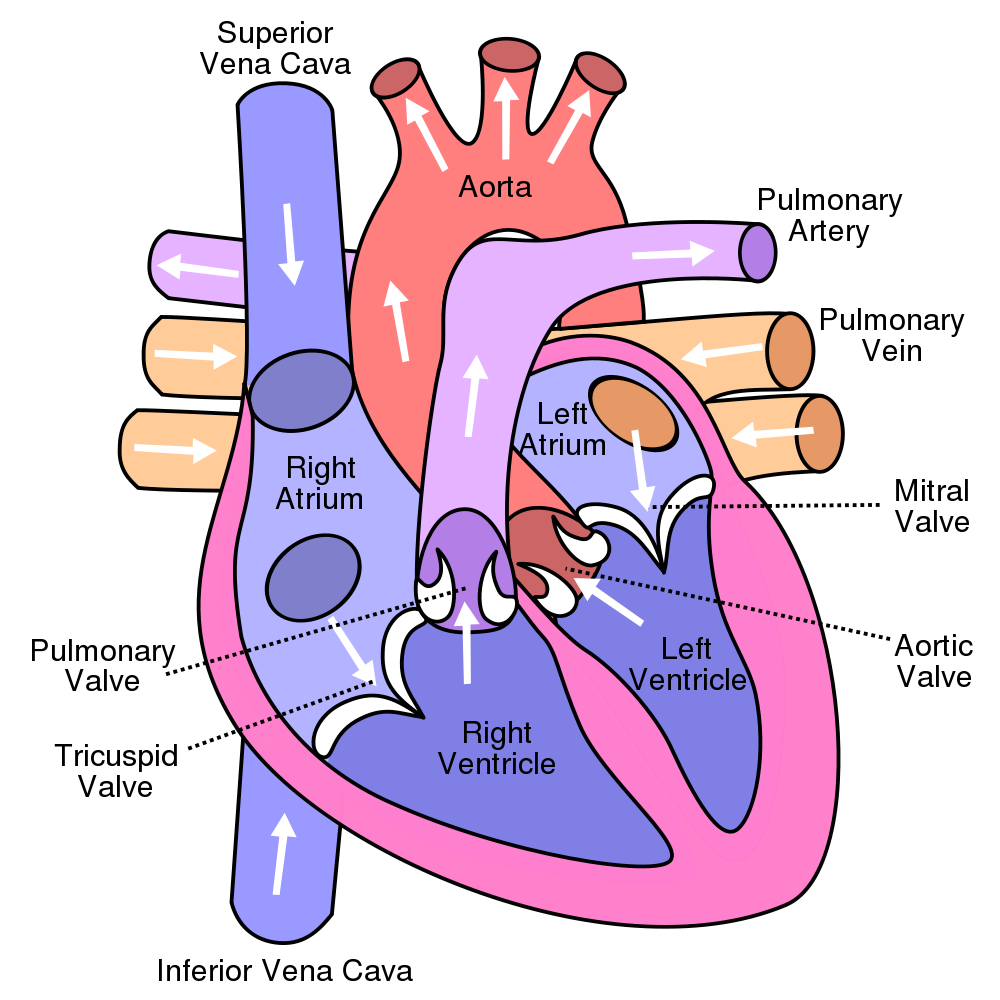 Human heart clipart blood flow vector free library 10 Facts About the Human Heart | Pinterest | Human heart diagram ... vector free library