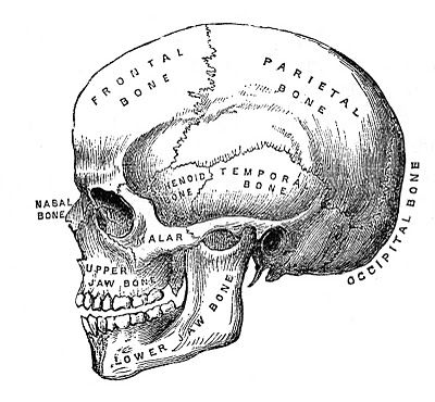 Anatomy clipart black and white jpg black and white download Vintage Halloween Clip Art - Anatomy Skull - Printable - The ... jpg black and white download