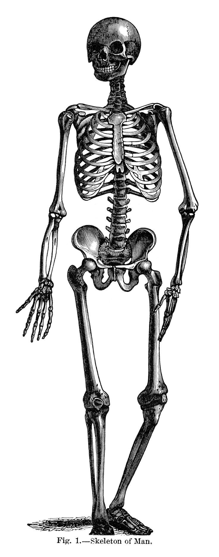 Anatomy clipart black and white clip free library Free Anatomy Clipart black and white, Download Free Clip Art on ... clip free library