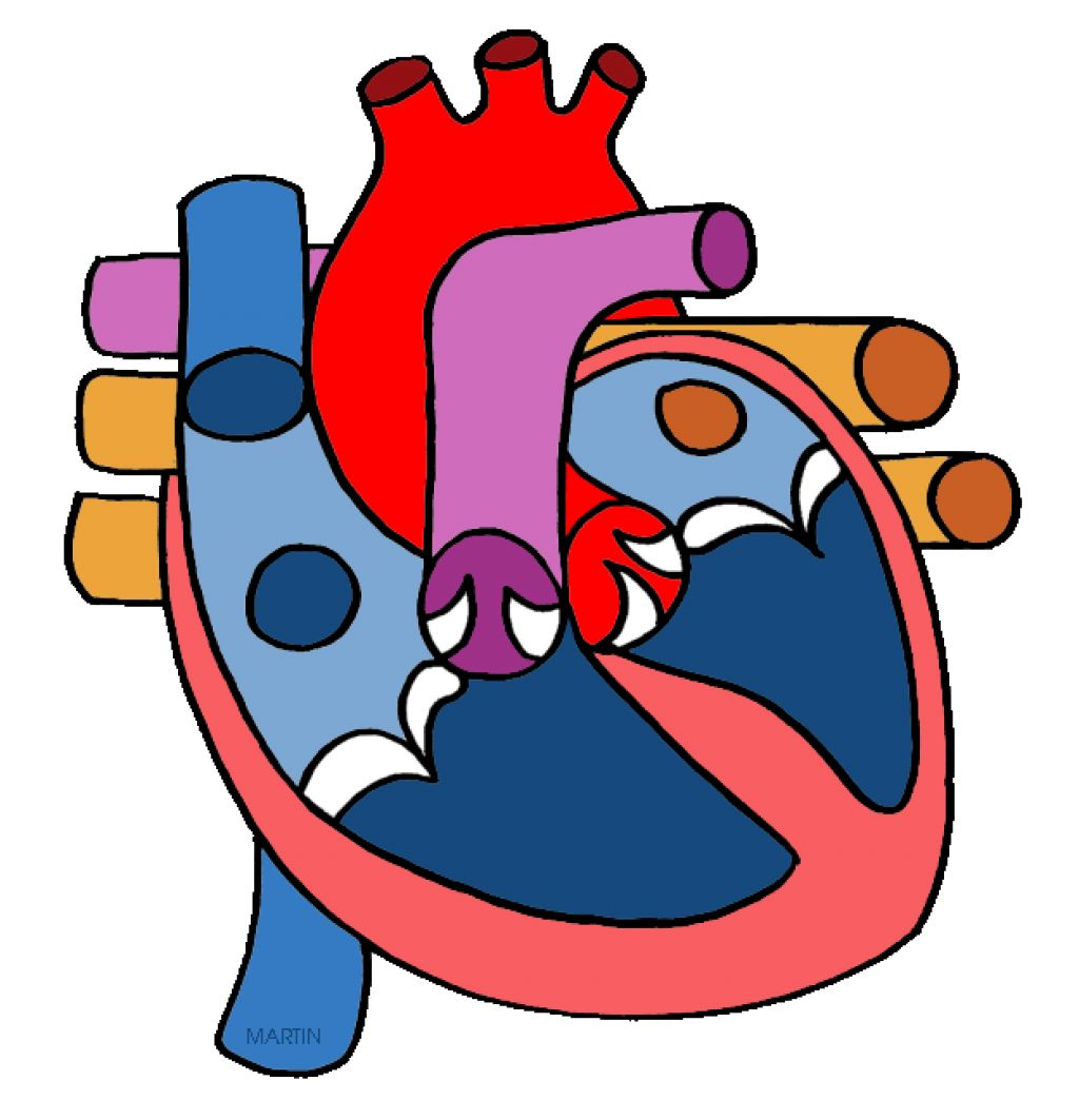 Anatomy clipart circulatory system