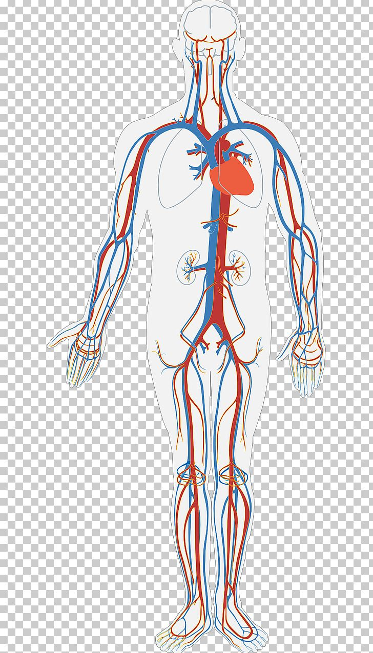 Anatomy clipart circulatory system clip art black and white download Circulatory System Diagram Human Body Anatomy Organ System PNG ... clip art black and white download