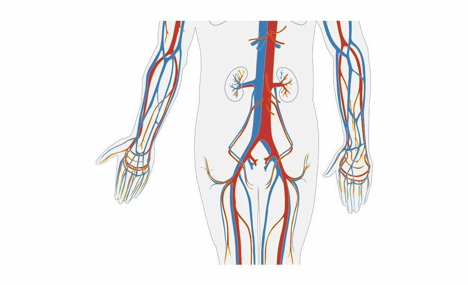 Anatomy clipart circulatory system download Anatomy Clipart Circulatory System - Circulatory System Simple Not ... download