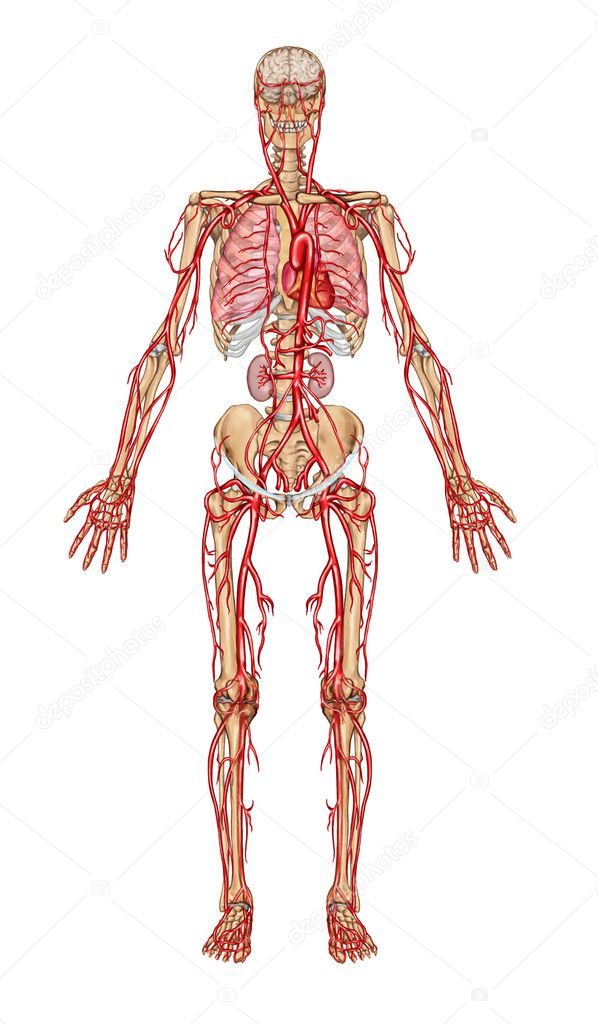 Anatomy clipart circulatory system picture royalty free library png clipart free download picture royalty free library