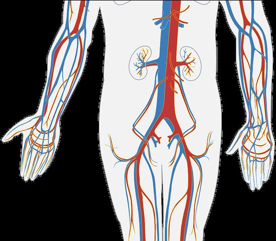 Anatomy clipart circulatory system jpg black and white HD Anatomy Clipart Circulatory System - Circulatory System Simple ... jpg black and white