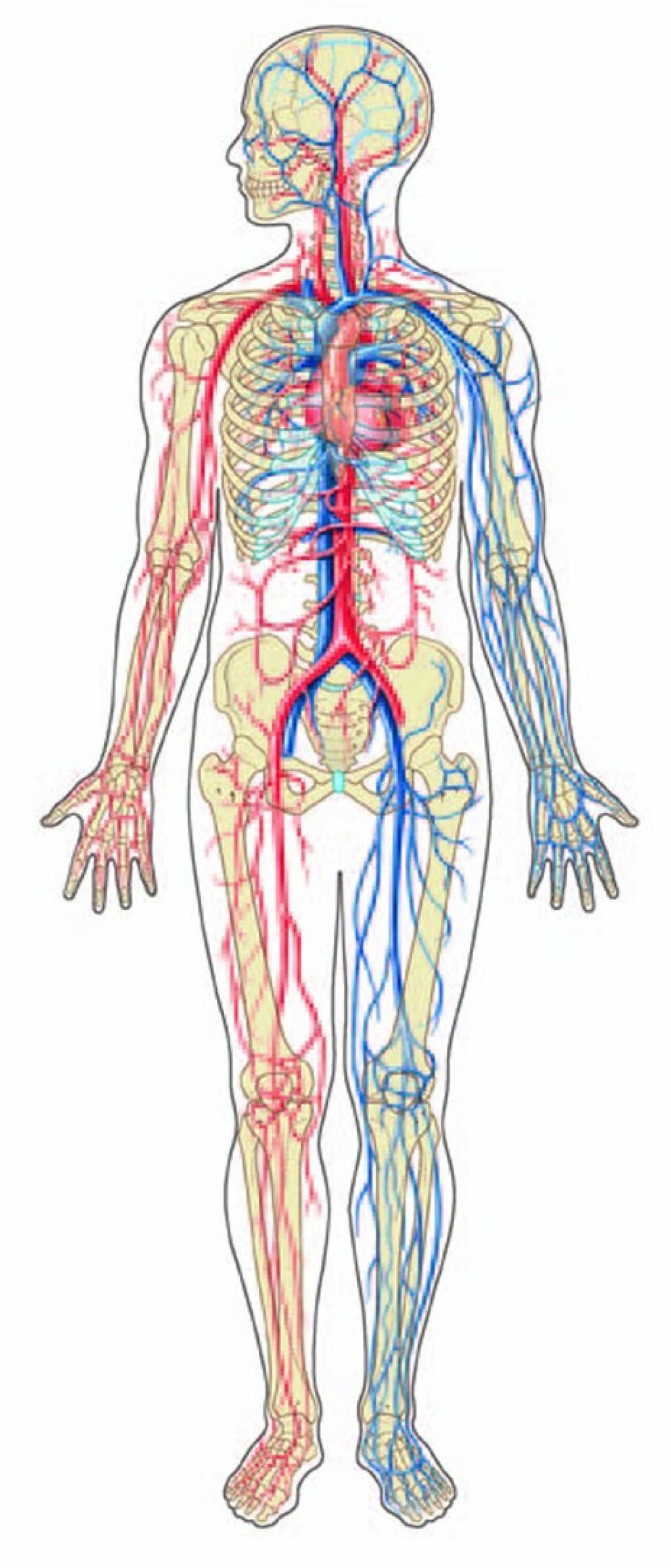 Anatomy clipart circulatory system png black and white library circulatory system diagram black and white - Google Search ... png black and white library
