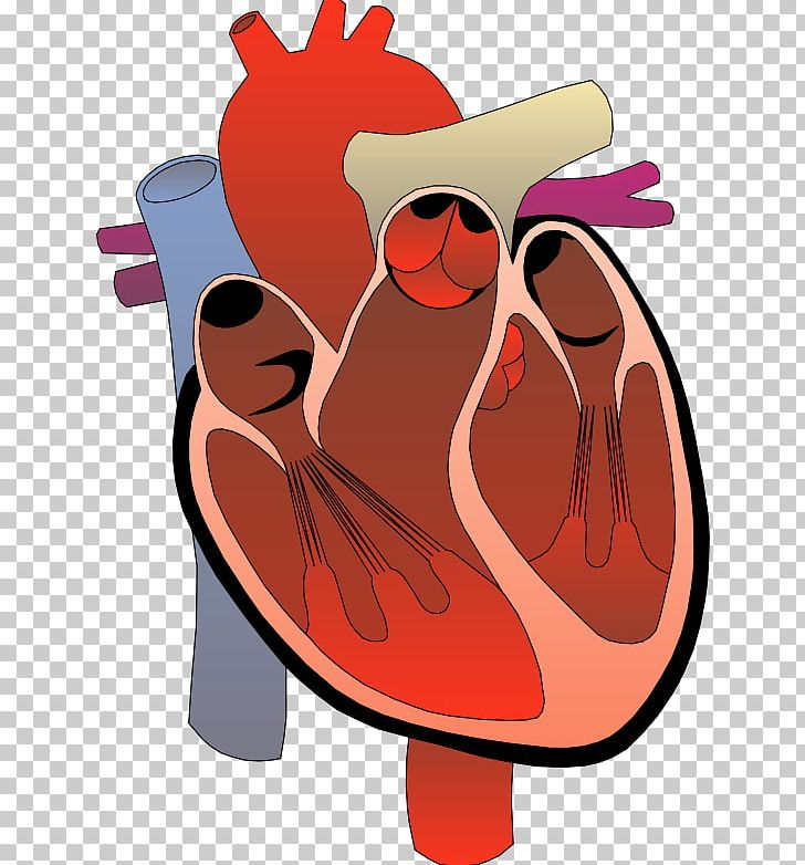 Anatomy clipart circulatory system image library download Heart Anatomy Diagram Circulatory System PNG, Clipart, Anatomy, Art ... image library download