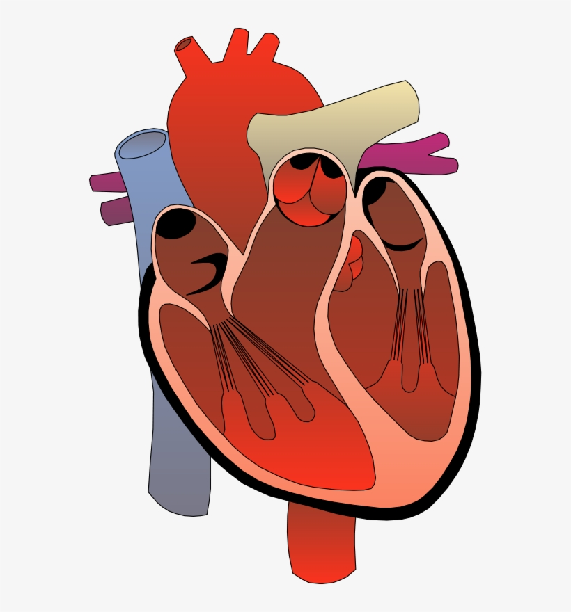 Anatomy clipart free clipart royalty free library Realistic Heart Png Free - Heart Anatomy Clipart - Free Transparent ... clipart royalty free library