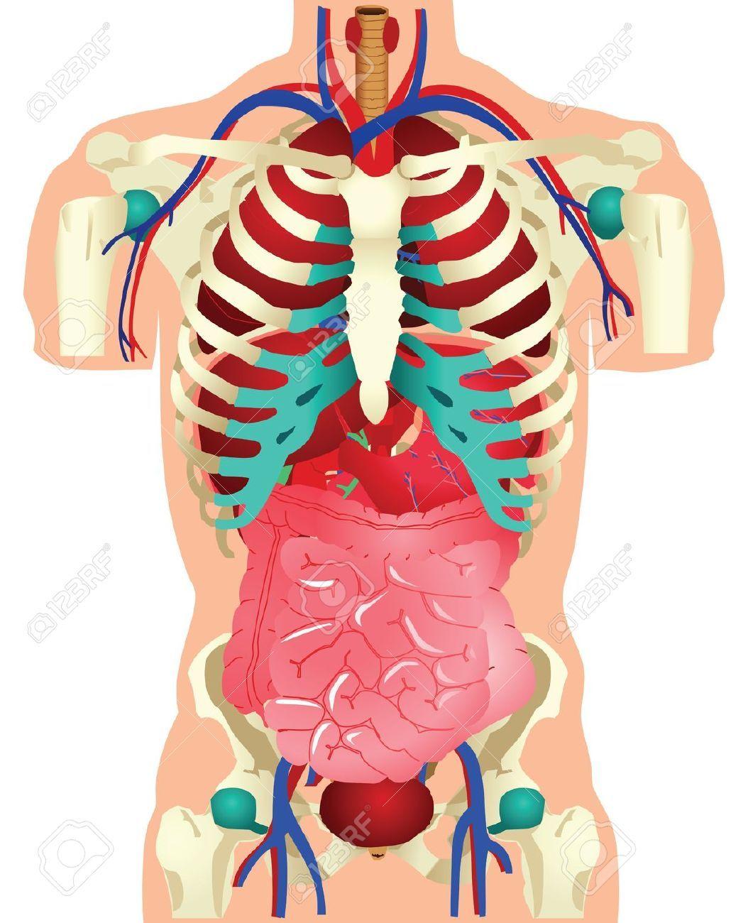 Free human anatomy clipart. Portal