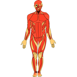 Anatomy clipart images clipart freeuse stock Download Human Anatomy Clipart | Clipart Panda - Free Clipart Images clipart freeuse stock