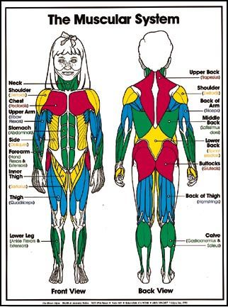Anatomy clipart kids muscular system transparent stock muscular system for kids. Go over basics... | Skeletal/Muscular ... transparent stock