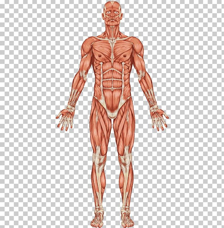 Anatomy clipart kids muscular system image stock The Muscular System Human Body Muscle Human Skeleton PNG, Clipart ... image stock