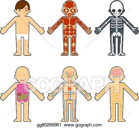 Anatomy clipart kids muscular system banner Vector Illustration - Body anatomy for kids. Stock Clip Art ... banner