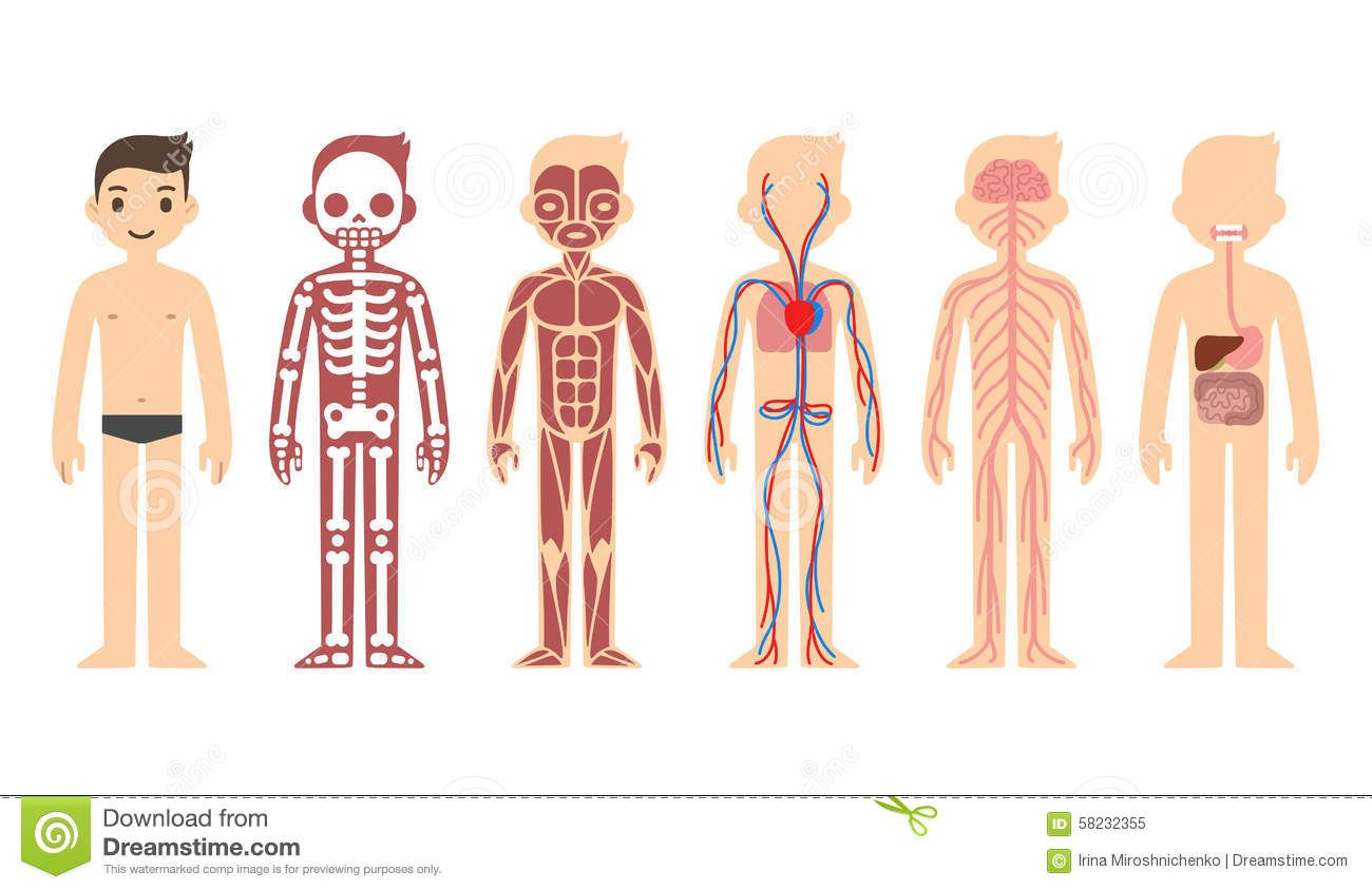 Anatomy clipart kids muscular system clip download Human Body Systems For Kids Photos: Body Systems Kids, - Human ... clip download