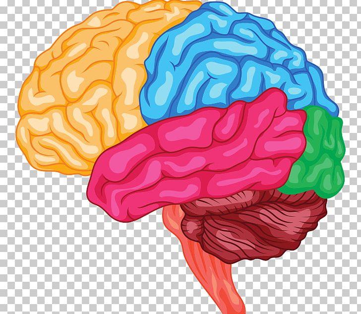 Anatomy of the brain clipart clip freeuse download Human Brain Anatomy Brainstem Cerebrum PNG, Clipart, Anatomy, Brain ... clip freeuse download