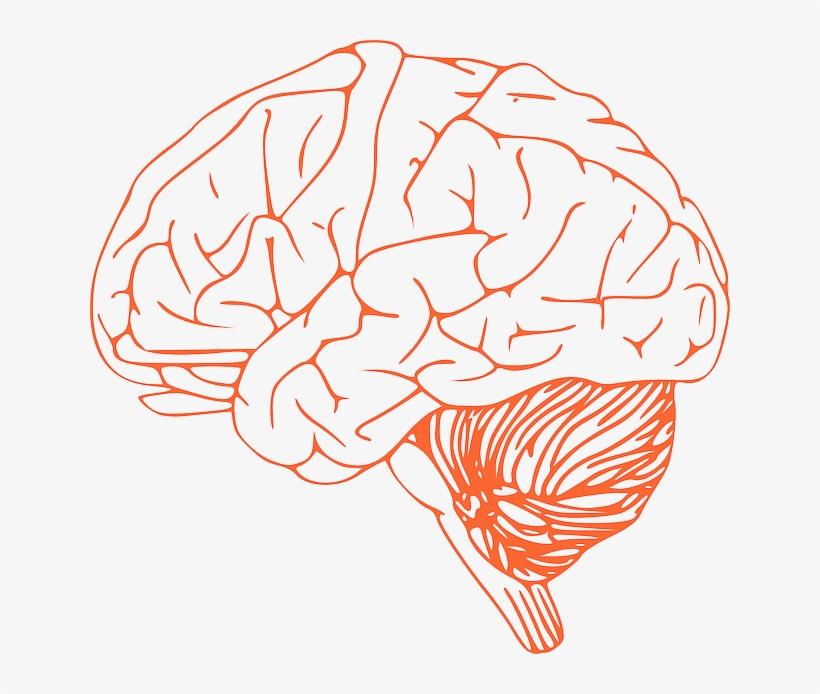 Anatomy of the brain clipart picture freeuse stock Brain,Line art,Head,Organ,Brain,Nose,Illustration,Human anatomy ... picture freeuse stock