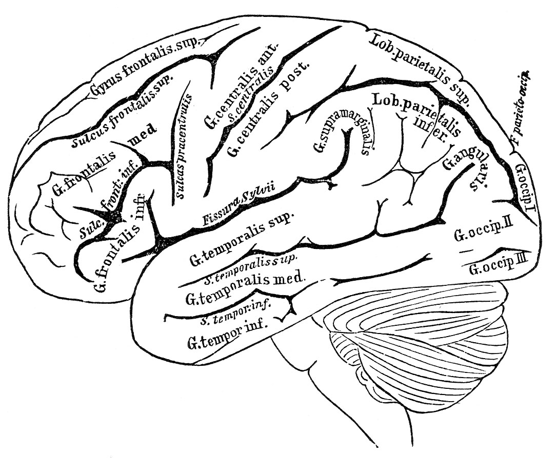 Anatomy of the brain clipart image royalty free library Vintage Anatomy Images - Human Brain - The Graphics Fairy image royalty free library