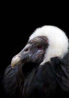 Andean condor sittting clipart clip art transparent download 87 Best andean condor images in 2019   Andean condor, Birds, Birds ... clip art transparent download