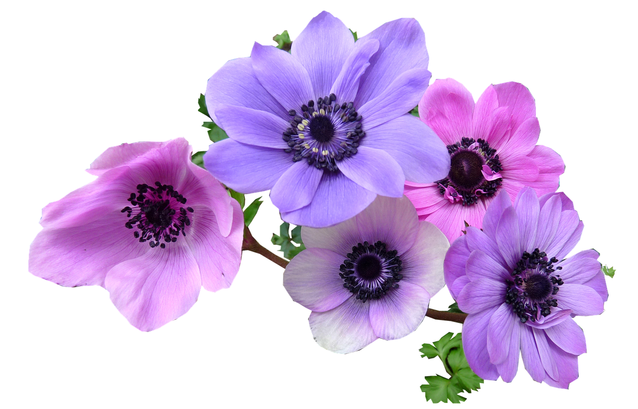 Purple and silver snowflake flower clipart image royalty free Free Image on Pixabay - Anemone, Flowers, Cut, Out | Pinterest ... image royalty free