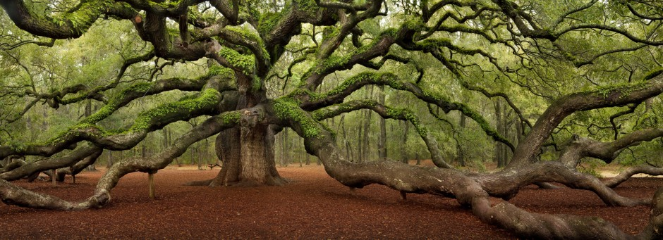 Angel oak branch clipart graphic free stock The Famous Angel Oak Tree - Boutte Tree graphic free stock