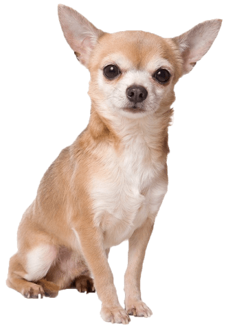 Angry chihuahua clipart clipart transparent library Angry chihuahua meme clipart images gallery for free download ... clipart transparent library