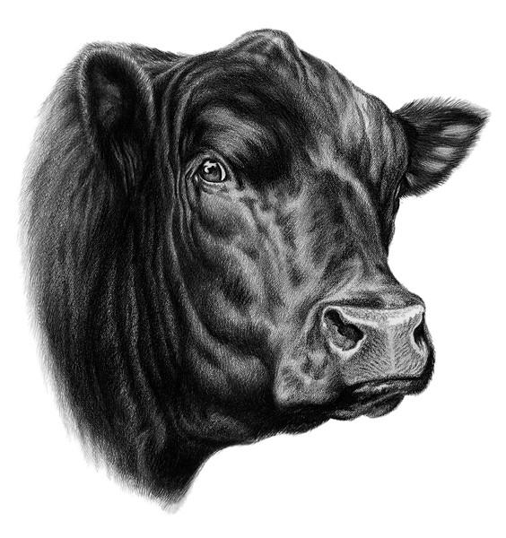 Angus bull head clipart clipart transparent Free Steer Head Cliparts, Download Free Clip Art, Free Clip Art on ... clipart transparent