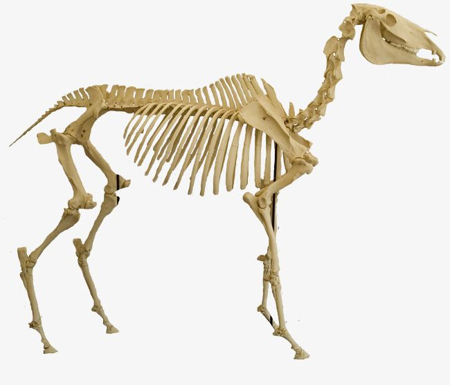 Skeleton animal clipart clip library library Animal Bones PNG, Clipart, Animal, Animal Clipart, Animal Clipart ... clip library library