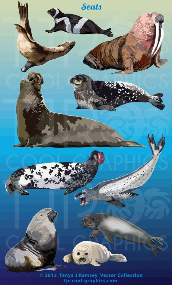 Animal kingdom realistic clipart photo graphic black and white Seals Digital Realistic Clip Art, PNG, Printable, Commercial, Harp ... graphic black and white