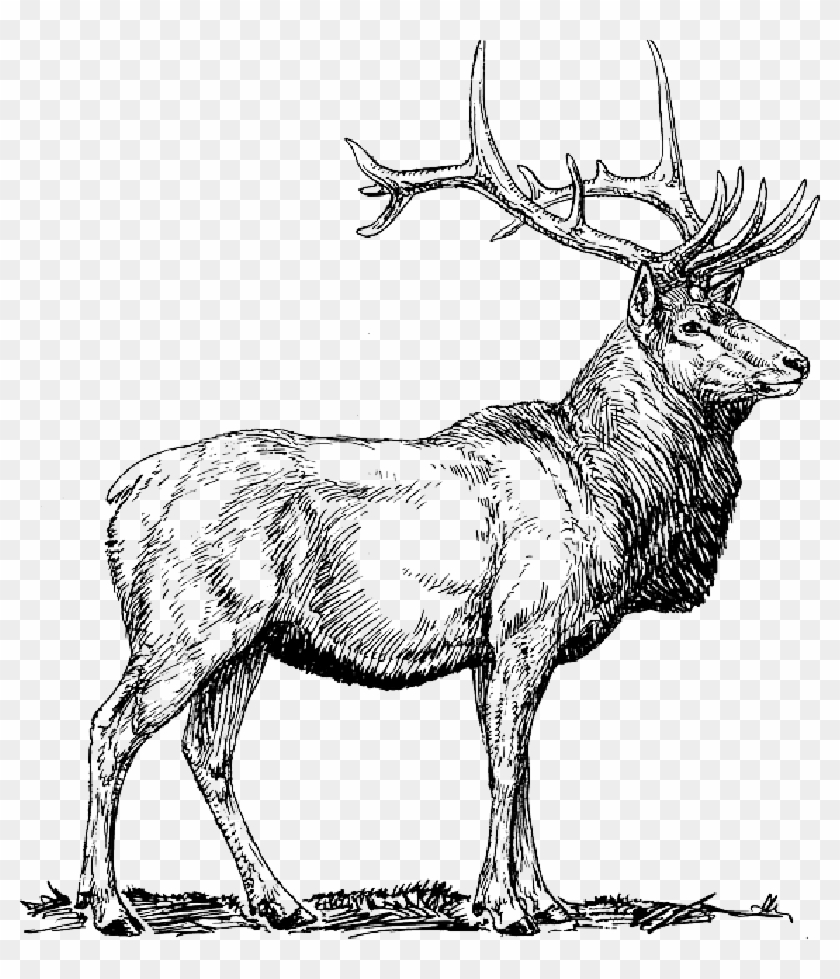 Animals elk clipart clipart library Moose, Deer, Head, Animal, Drawings, - Elk Clipart, HD Png Download ... clipart library