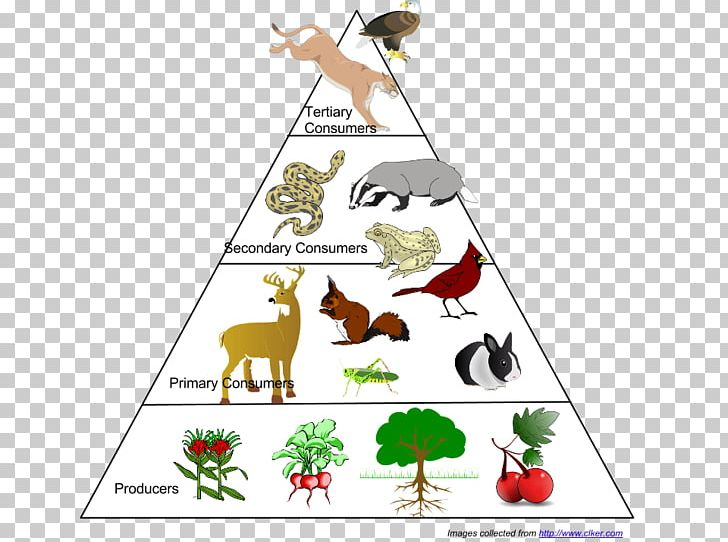 Animals pyramid clipart banner royalty free download Food Web Ecological Pyramid Food Chain Ecosystem Ecology PNG ... banner royalty free download