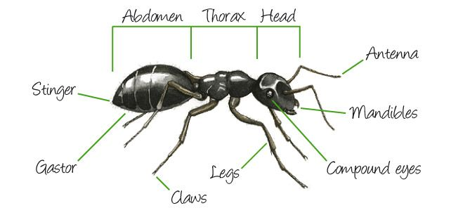 Ant clipart with mandible graphic library download Learn about External Ant Anatomies. Including the: abdomen, head ... graphic library download