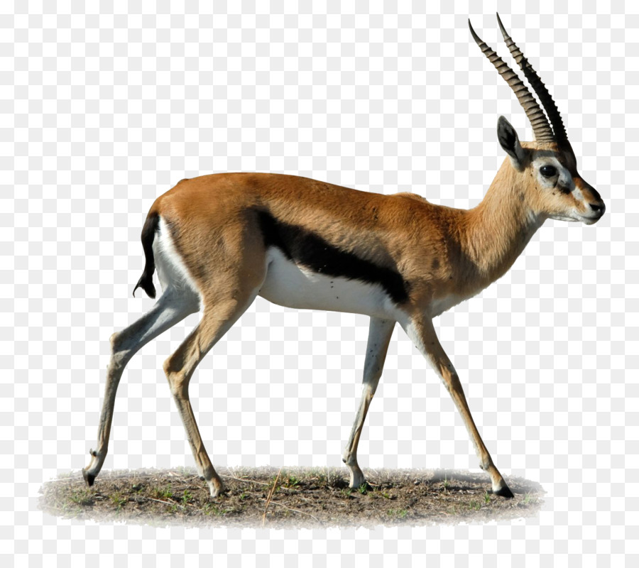 Antelope clipart png image royalty free download gazelle png clipart Gazelle Clip art clipart - Antelope, Wildlife ... image royalty free download