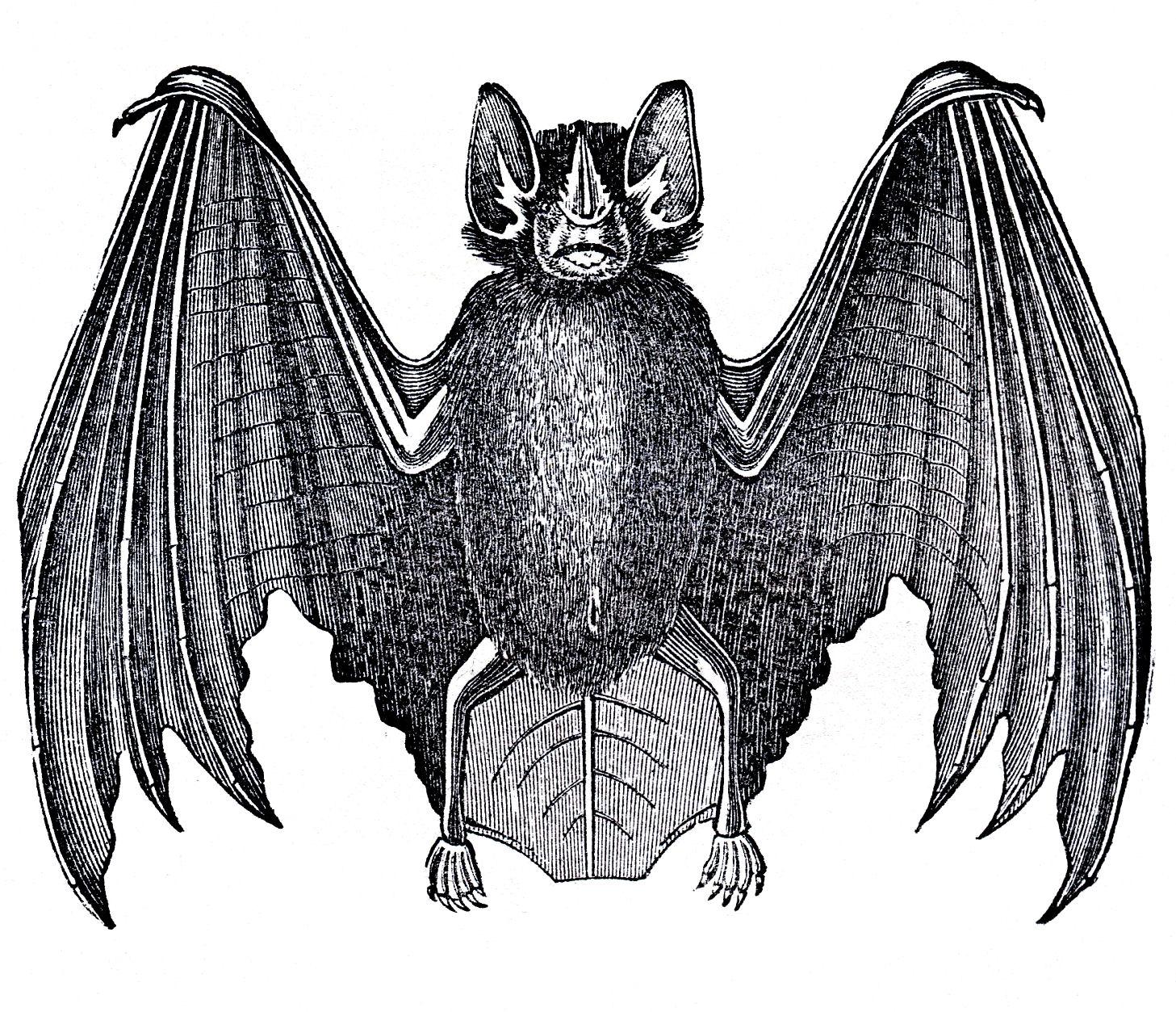 Antique bat free clipart picture transparent library 12 Bat Images - Vintage Halloween! - The Graphics Fairy picture transparent library