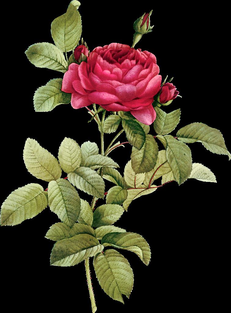 Flower clipart vintage. Buds png flowerclipartvintagebudspng