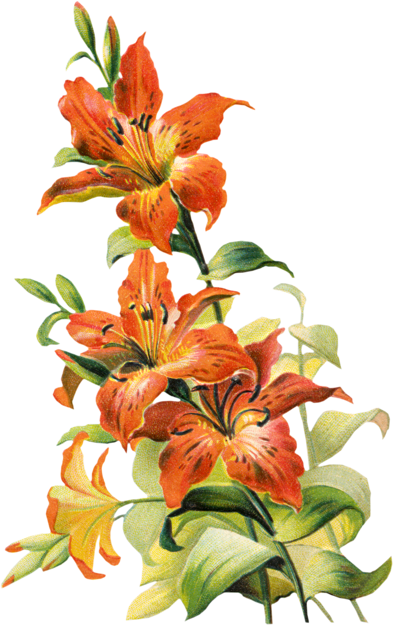 Antique nosegay clipart free graphic Free Vintage Tiger Lily Flower graphic