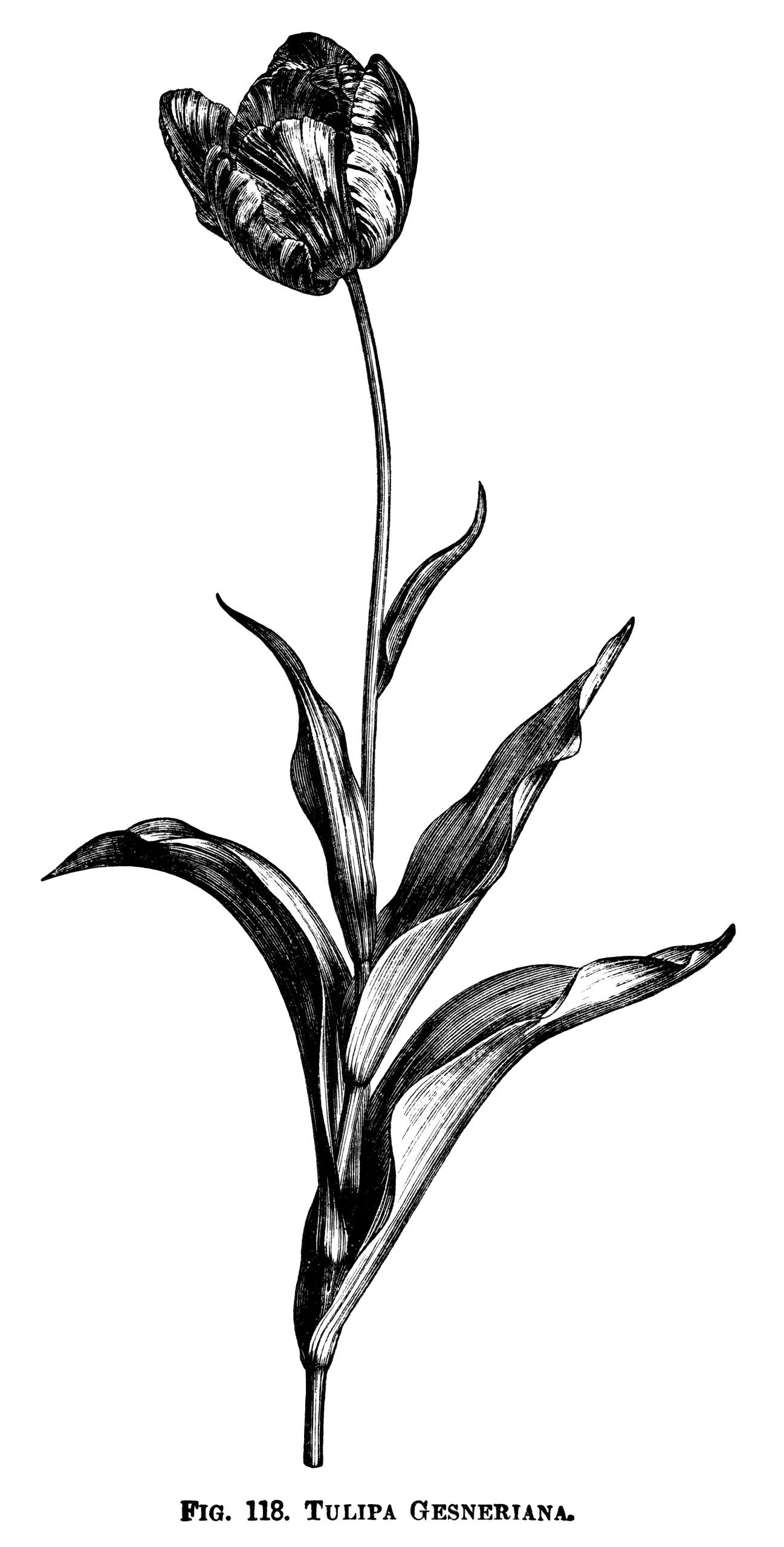 tulip clipart, black and white graphics, botanical flower engraving ... clip art freeuse stock