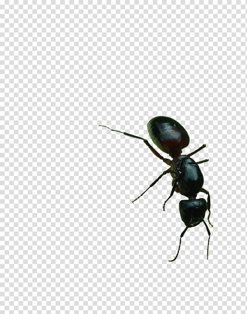 Ants smoking clipart svg download Black garden ant , Big black ants transparent background PNG clipart ... svg download