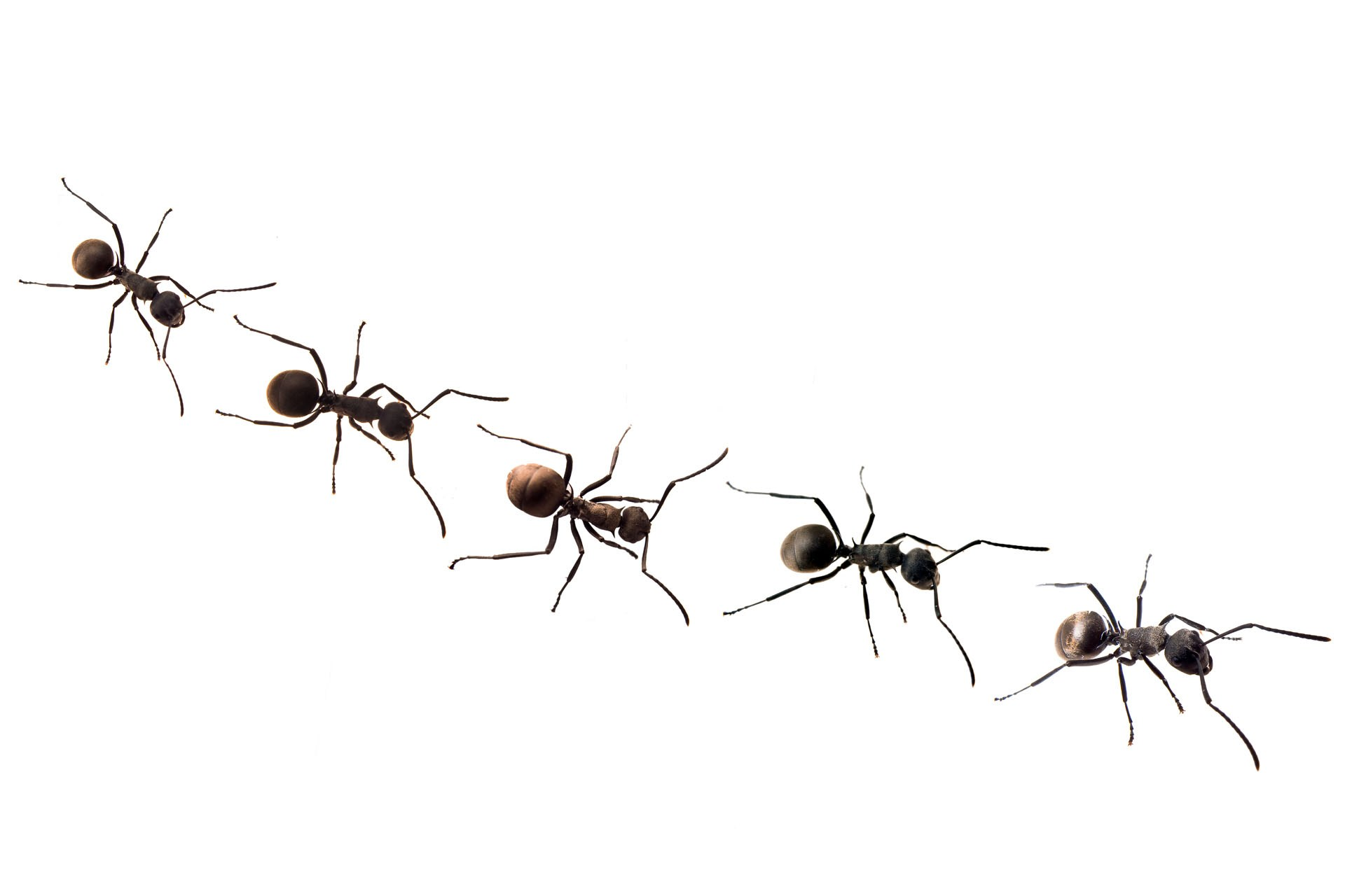 Ants trail clipart jpg transparent stock Free Marching Ants Cliparts, Download Free Clip Art, Free Clip Art ... jpg transparent stock