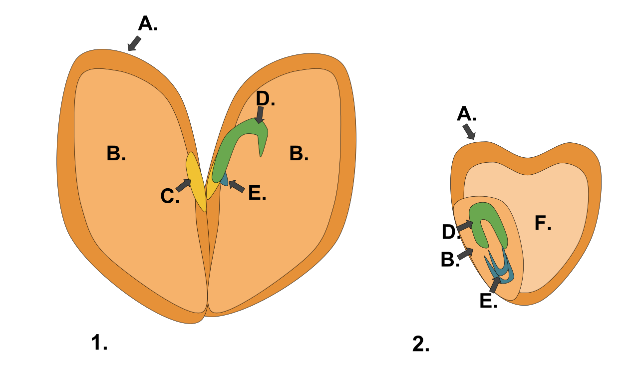Apple and orange seeds clipart picture royalty free stock File:Monocot dicot seed.svg - Wikimedia Commons picture royalty free stock