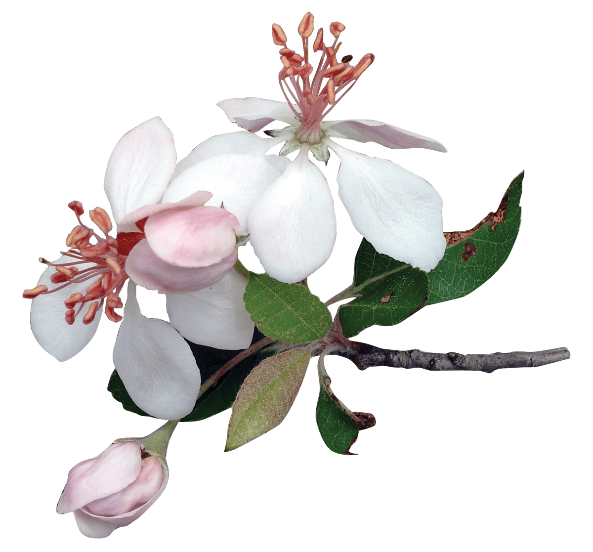 Apple tree clipart transparent background png Apple Tree Flowers transparent PNG - StickPNG png