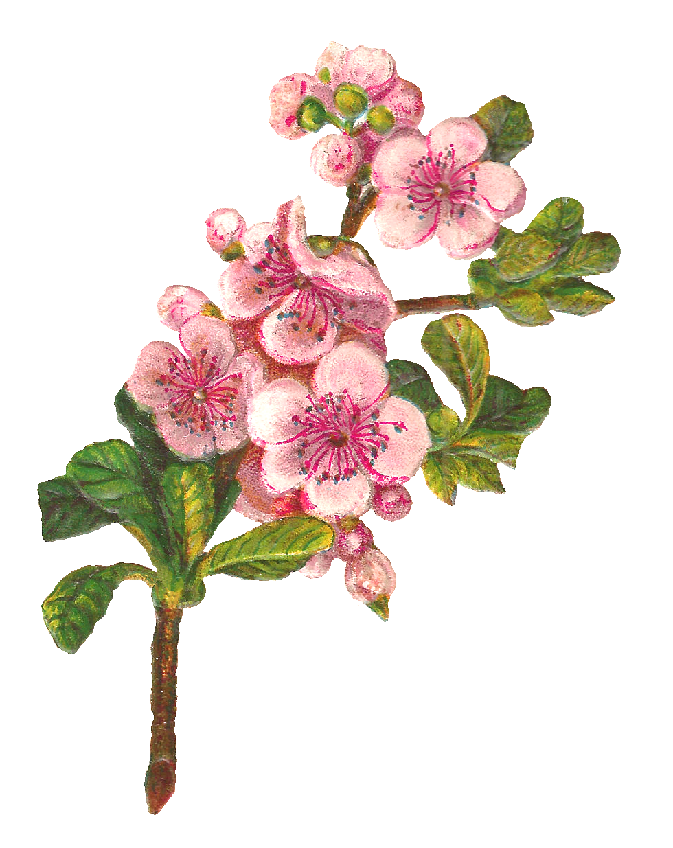 Apple tree digital clipart vector download Antique Images: Botanical Art Apple Blossom Flower Digital Download vector download