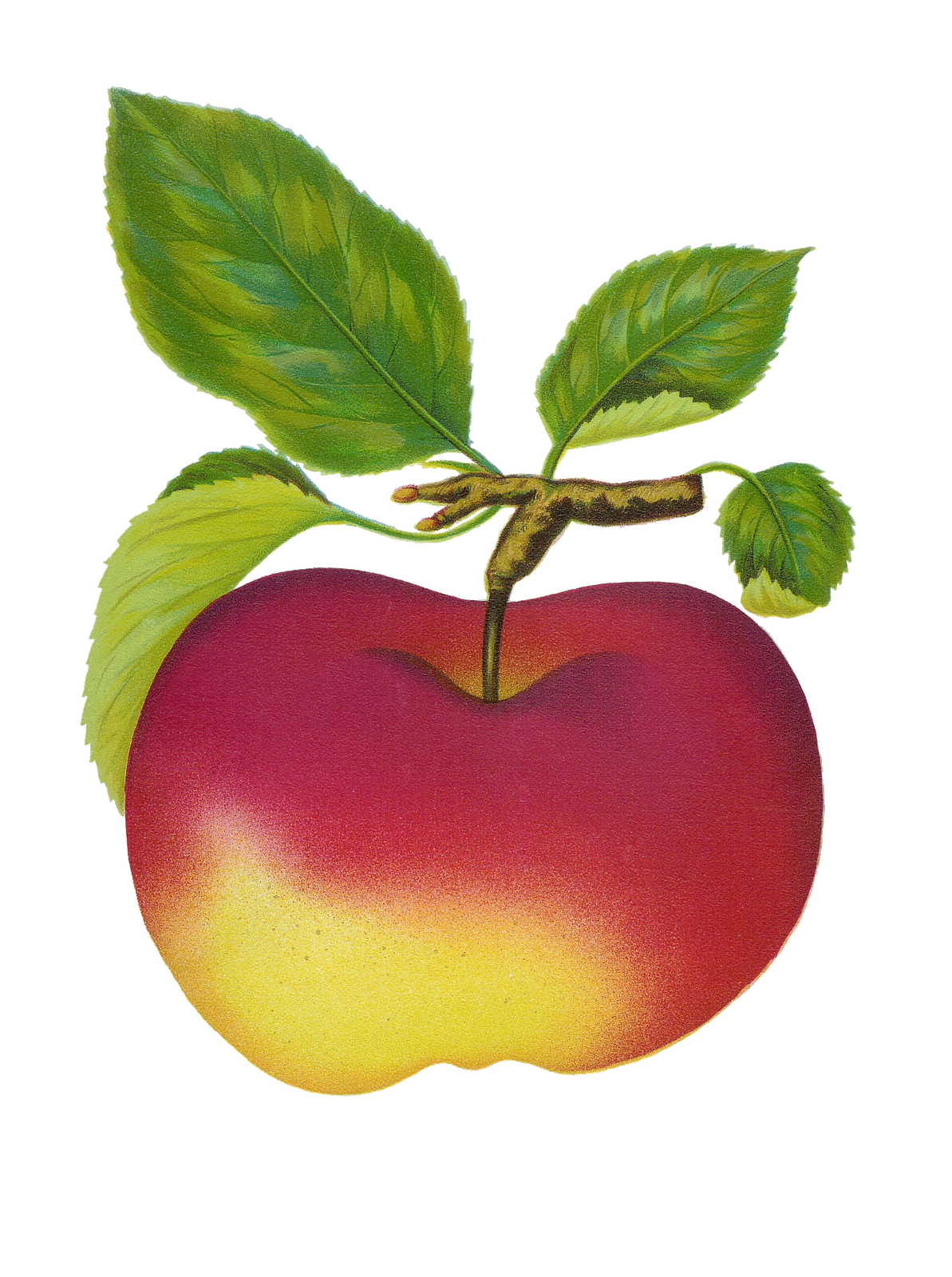 Apple clipart vintage
