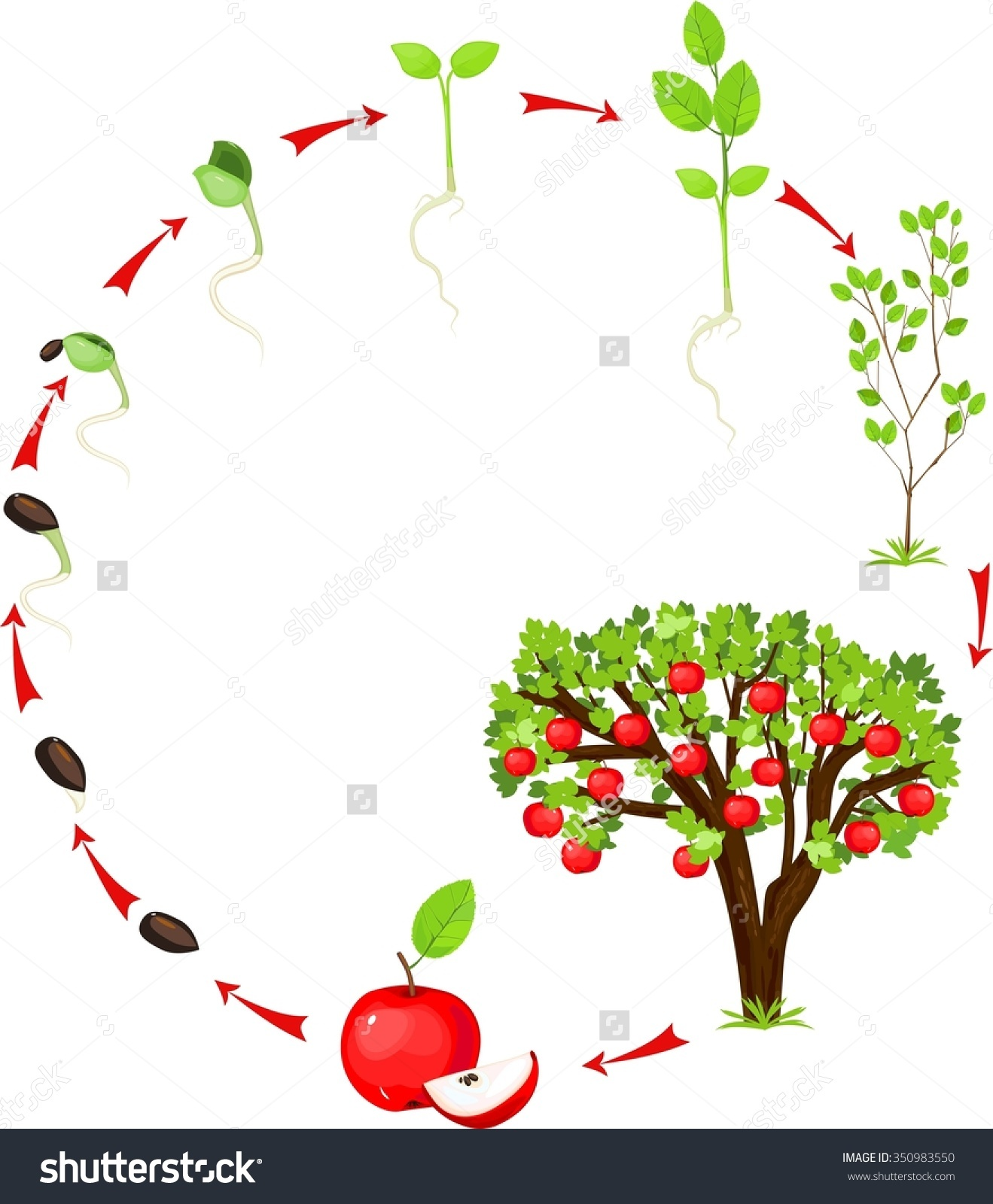 Clipartfest save to a. Apple tree cycle clipart