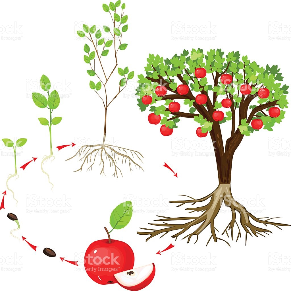 Life of stock vector. Apple tree cycle clipart