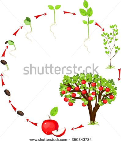 Clipartfest life of. Apple tree cycle clipart