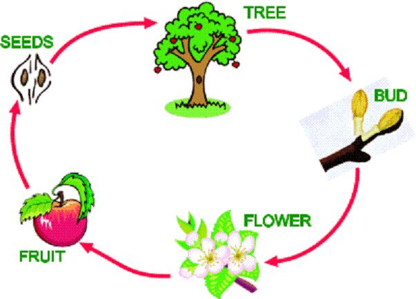 Apple tree cycle clipart.  images about life
