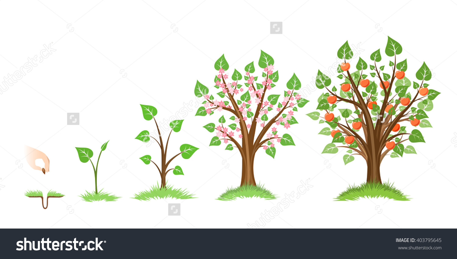 Apple tree cycle clipart jpg transparent download Apple Tree Growth Cycle Plant Cycle Stock Vector 403795645 ... jpg transparent download