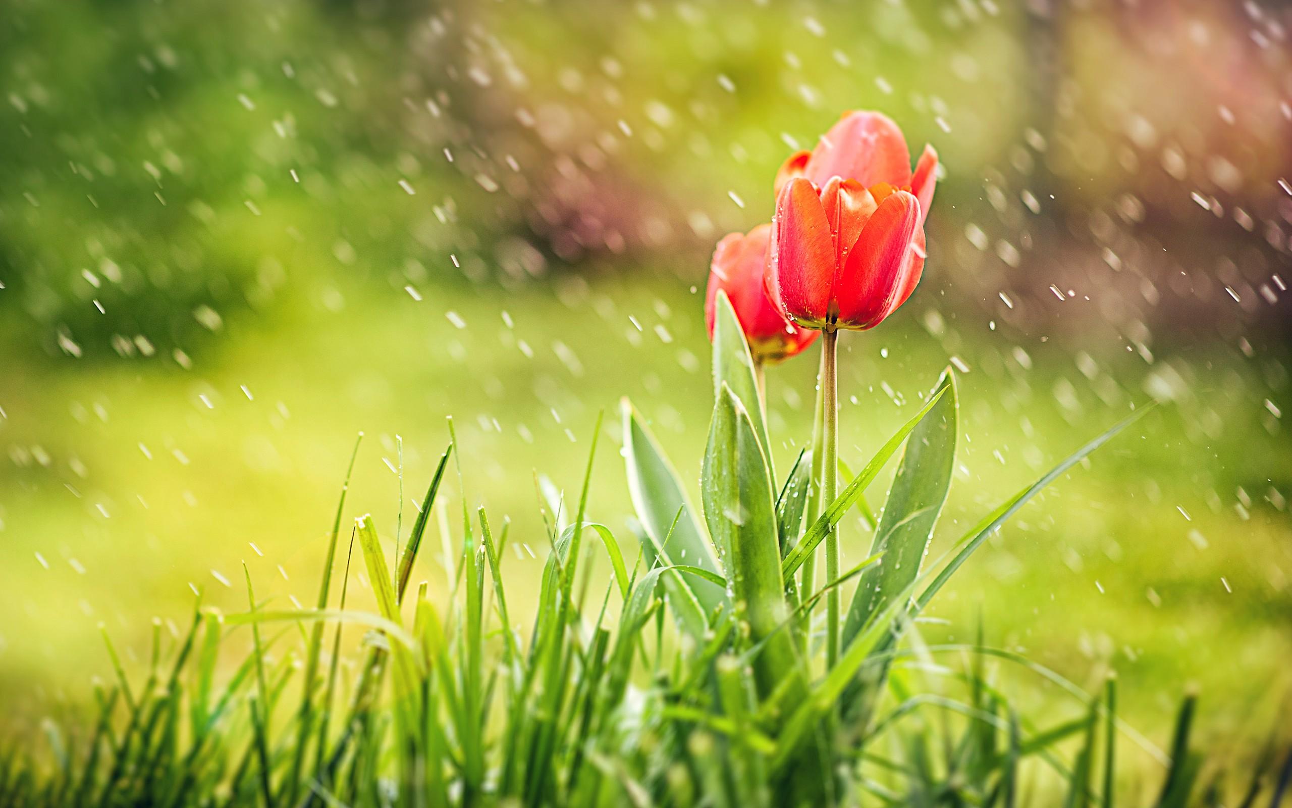 April spring backgrounds banner transparent download Spring Tulips Flowers Grass Rain Nature HD Wallpaper - New HD ... banner transparent download